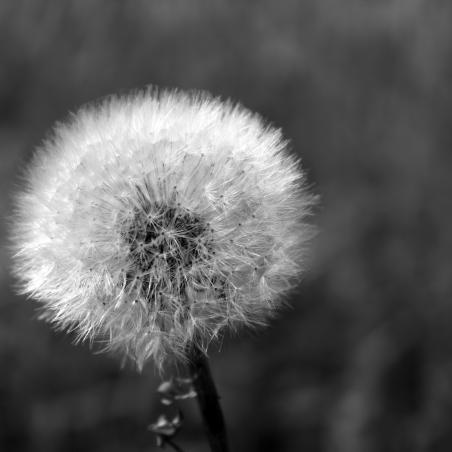 cropped-dandelion-1563950